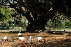 A flock of ducks under the big tree. Ducks are eating food under the big tree royalty free stock image