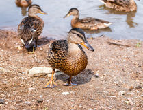 Flock of ducks walking along the shore Stock Image