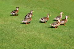 Flock of ducks walking in garden green grass Royalty Free Stock Image