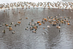 Flock of ducks in the water. Flock of ducks swimming in the winter lake Stock Images