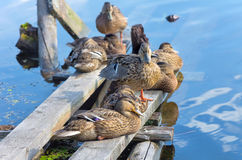 Flock of ducks Royalty Free Stock Photo