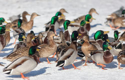 Flock of ducks in winter. Large flock of ducks on the snow Royalty Free Stock Photography
