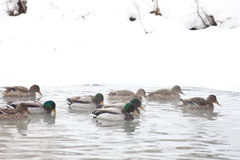 Flock of ducks on the winter river. In fog Royalty Free Stock Images