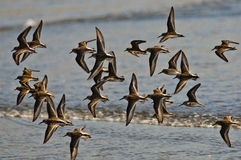 Flock Dunlin In Flight Royalty Free Stock Photos