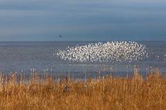 Flock of Dunlin Stock Photography