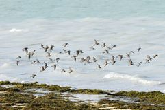 Flock of Dunlins in flight Stock Photos