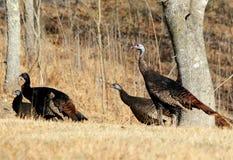 Eastern Wild Turkey Stock Photo