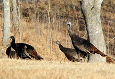 Eastern Wild Turkey. Flock of eastern wild turkey hens Stock Photo