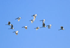 Flock of egrets egret Royalty Free Stock Photos