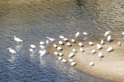 Flock of egrets gathered in the sandbank of the river Stock Image