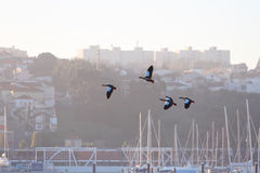 Flock of egyptian geese in flight Royalty Free Stock Images