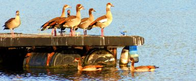 Flock of Egyptian Geese Royalty Free Stock Photos
