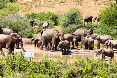 Flock of elephants. The flock of elephants in South Africa stock photos