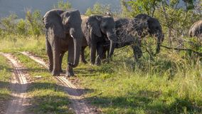 A flock of elephants blocks the road royalty free stock photos