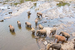 A flock of elephants drinking water Royalty Free Stock Photography