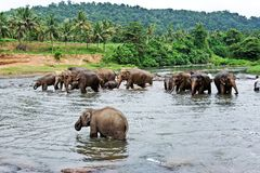 Flock of elephants in the river Stock Image