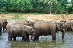 Flock of elephants in the river Stock Photos