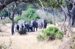 Flock of elephants in the savannah royalty free stock image