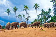 Flock of elephants in the wilderness Royalty Free Stock Images