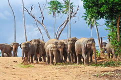 Flock of elephants in the wilderness Stock Photography