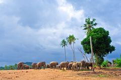 Flock of elephants in the wilderness Stock Image