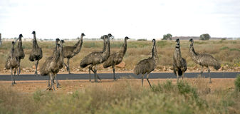 Flock of emus. Stock Photography