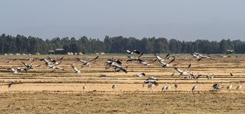 A flock of ethiopian cranes in flight. Seen in Bahir Dar, Ethiopia stock photography