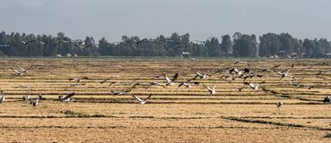 A flock of ethiopian cranes in flight. Seen in Bahir Dar, Ethiopia stock image