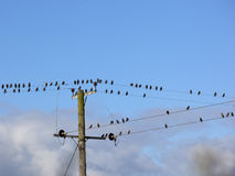 Flock of eurasian starlings Stock Photo