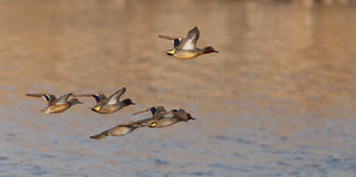 A flock of Eurasian Teals in flight Stock Images