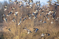 Flock of Eurasian wigeon (Anas penelope) in flight Stock Images