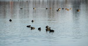 Flock of European coots and ducks Royalty Free Stock Photos