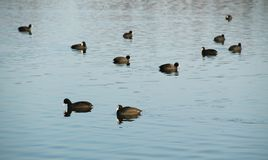 Flock of European coots Royalty Free Stock Image