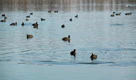 Flock of European coots Stock Photo