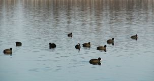 Flock of European coots Royalty Free Stock Photography
