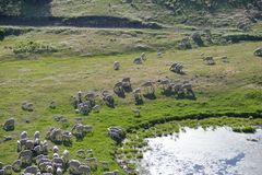 Ewes and Lambs on Montana mountainside. A flock of ewes and lambs foraging on a mountain slope pasture of the sheep ranch near a natural pond Stock Photos