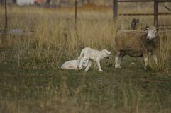 Flock of ewes with their lambs in a field on a farm during a particularly dry drought season stock photography