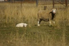Flock of ewes with their lambs in a field on a farm during a particularly dry drought season stock photo