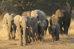 Flock för afrikansk elefant royaltyfri bild