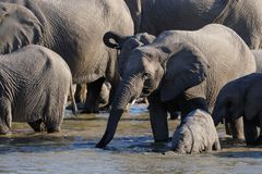 Flock för afrikansk elefant med kalven på waterhole, etoshanationalpark, Namibia Royaltyfria Bilder