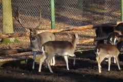 Flock för i träda deers, konung av skogen med barn Royaltyfria Foton