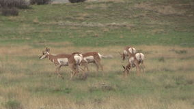 Flock för Pronghorn antilop som betar på prärien Arkivfoto