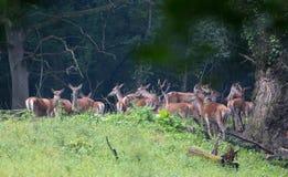 Flock för röda hjortar i skog Arkivbild