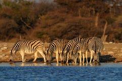 Flock för sebra för Burchell ` s på waterhole, etoshanationalpark, Namibia, equusburchelli Royaltyfri Foto
