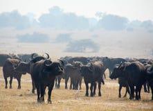 Flock för vattenbuffel royaltyfri bild