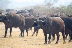 Flock för vattenbuffel arkivbild