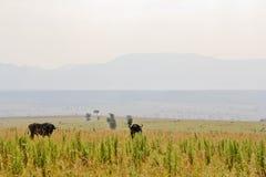 Flock för vattenbuffel royaltyfri foto