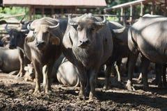 Flock för vattenbuffel i stall Arkivfoto