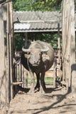 Flock för vattenbuffel i stall Royaltyfri Fotografi