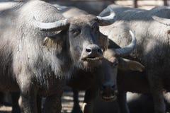 Flock för vattenbuffel i stall Royaltyfria Bilder